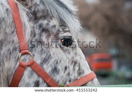 Eye of a spotted Appaloosa horse in a red halter, close up portrait - stock photo