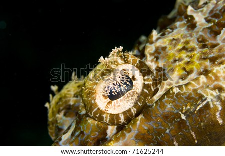 Eye of a Tentacled flathead (Papilloculiceps longiceps), also known as a crocodile fish, on a dark background. Taken in the Wakatobi, Indonesia