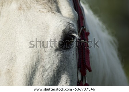 Eye of a white horse