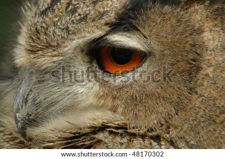 Eye of an European eagle owl (Bubo bubo)