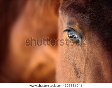 Eye of Arabian bay horse - stock photo