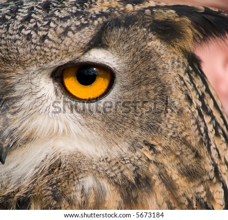 Eye of eagle owl