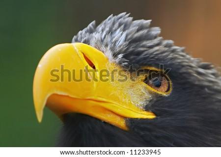 eye of the Steller´s sea eagle (Haliaeetus pelagicus) - stock photo