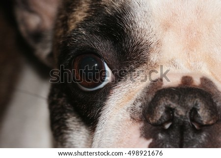 Eye of young french bulldog female