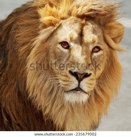 Eye to eye contact with a young Asian lion. King of beasts. Wild beauty of the biggest cat. The most dangerous and mighty predator of the world. Bright sunny portrait. - stock photo