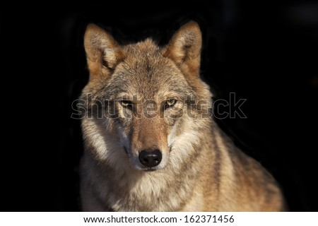 Eye to eye portrait with grey wolf female on black background. Horizontal image. Beautiful and dangerous beast of the forest. - stock photo