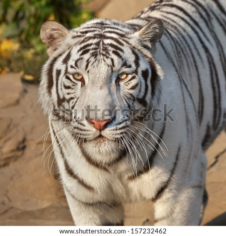 Eye to eye with sunlit white bengal tiger. The most beautiful animal and very dangerous beast of the world. This severe raptor is a pearl of the wildlife. Animal face portrait.