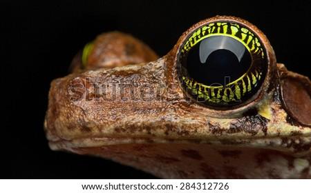 eye tropical tree frog, Osteocephalus taurinus. Vibrant colored eyes of a beautiful amazon rainforest animal. Exotic amphibian - stock photo