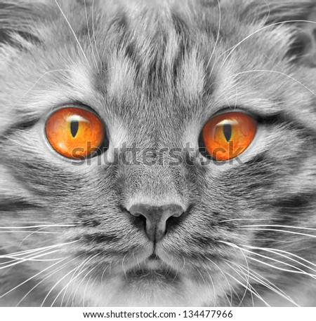 eyes ginger cat background black and white style - stock photo