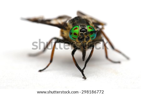 Eyes of an insect. Portrait  Gadfly. Hybomitra horse fly head closeup  - stock photo