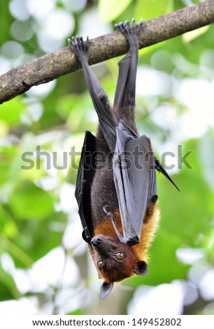 Eyes of Hanging Lyle's flying fox on the tree branch, Pteropus lylei - stock photo