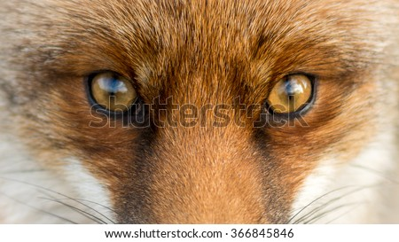 Eyes of the Red European Fox - stock photo