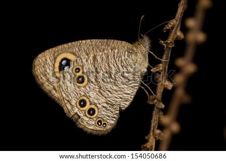 Eyespot Butterfly - stock photo