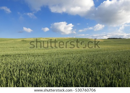 F Agricultural field on which grow immature young cereals, wheat. Blue sky with clouds in the background