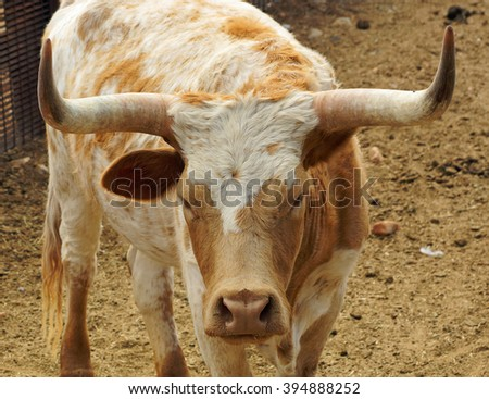 Face and horns of a longhorn cow in the paddock - stock photo