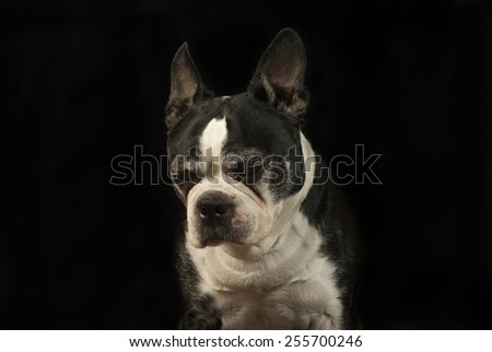 Face of a Boston Terrier