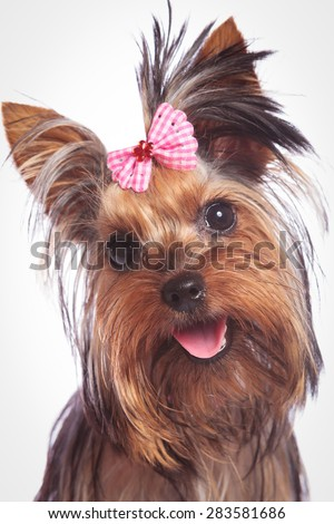 face of a cute yorkshire terrier baby dog looking happy, on studio background - stock photo