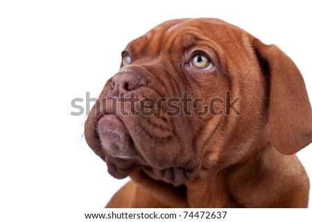face of a Dogue de Bordeaux (French mastiff) looking up at something