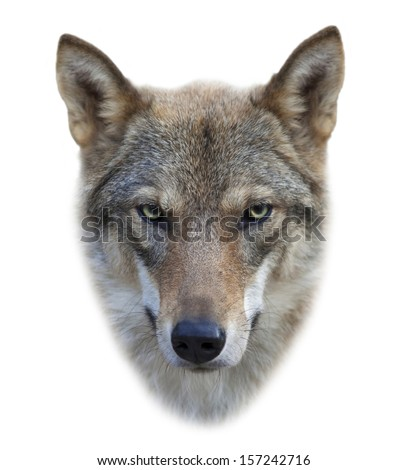 Face of a grey wolf female, isolated on white background. The mask of a beautiful and dangerous beast of the forest with eye to eye contact. Square image. - stock photo