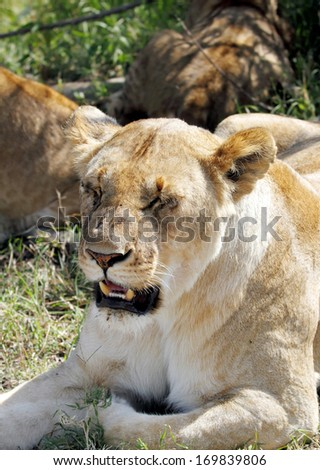 Face of a lion - stock photo
