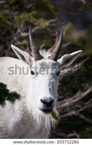 Face of a M\mountain goat with a pine tree sprig in the mouth - stock photo