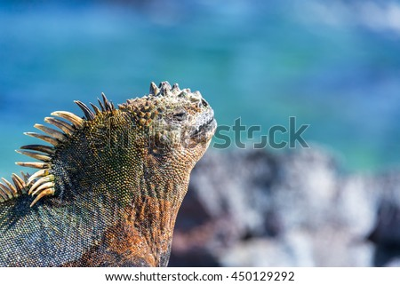 Face of a Marine Iguana relaxing in the sun with a blue background on Fernandina Island in the Galapagos Islands in Ecuador - stock photo
