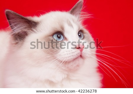 Face of a ragdoll kitten on a red cloth background