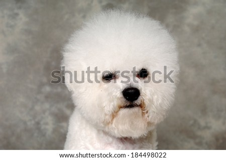 Face of a sad Poodle dog - stock photo