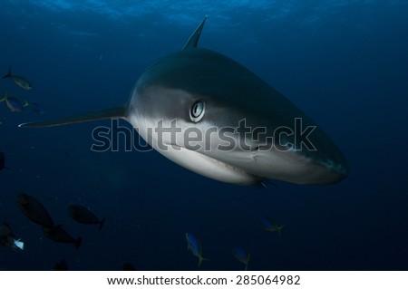 Face of a Silvertip shark - stock photo