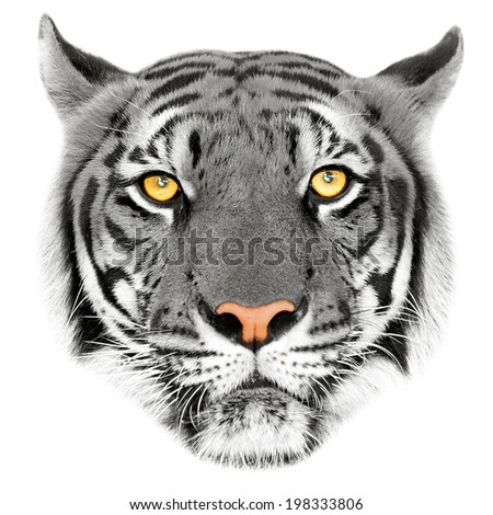 Face of a white bengal tiger, isolated on white background. Mask of the biggest cat. Wild beauty of the most dangerous and mighty beast. - stock photo