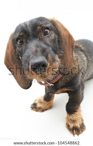 Face of Dachshund cross dog - stock photo