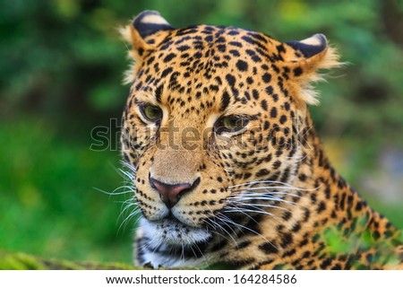 face of Javan leopard