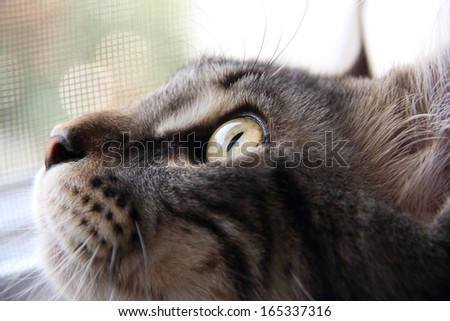 Face of Maine Coon Cat - stock photo