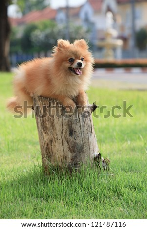 face of pomeranian dog in home garden - stock photo