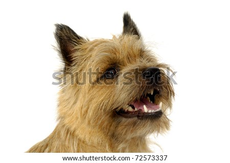 Face of sweet  happy dog, taken on a white background. The breed of the dog is a Cairn Terrier. - stock photo