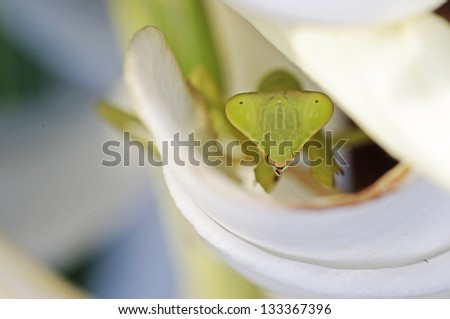face of the mantis trough the flower