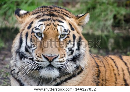 Face of Tiger