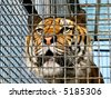 Face of tiger in cage, close-up - stock photo