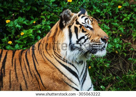 Face of tiger in the zoo - stock photo