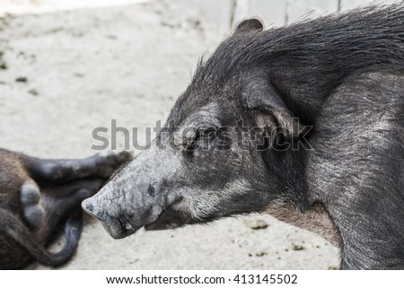 Face of wild boar, Thailand