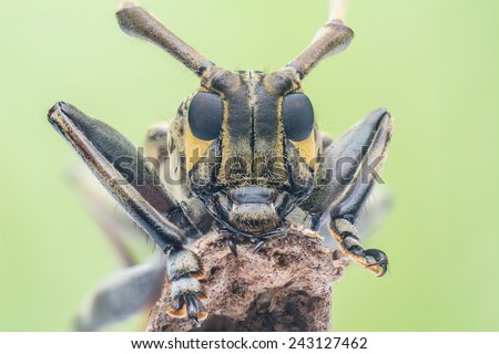 Face of yellow flat face Long-horned Beetle Cerambycidae. The beetle are easily found in Malaysia forest. Image has grain or noise and soft focus when view at full resolution. (Shallow DOF) - stock photo