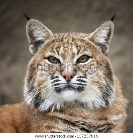 Face portrait of a red bobcat female, very beautiful beast of the North American forests. The head of the dangerous predator. Cute and cuddly animal of the wildlife. - stock photo