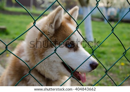 Face Portrait of wolf-dog - stock photo