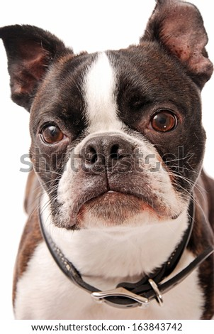 Face shot of a cute Boston Terrier dog on a white background - stock photo