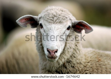 face shot of ewe - stock photo