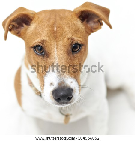 Face shot of Jack Russell Terrier dog - stock photo