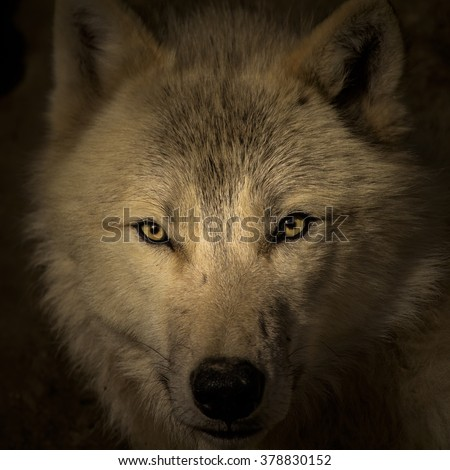 Face to face meeting with strong wolf. Wolf head watching very closely on the dark background. - stock photo