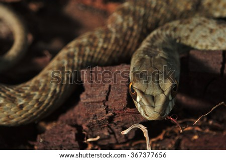 Face to face with a green and brown wild snake Malpolon Monspessulanus in a tree trunk - stock photo