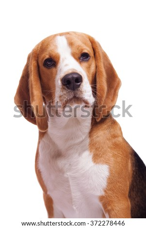 Facial portrait of One dog of tricolor beagle breed sitting on white isolated background.