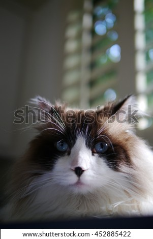 Facial Portrait of Regal Long Haired Bi Color Brown White Ragdoll Cat with Blue Eyes and Black Button Nose Looking into Camera - stock photo